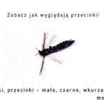 Wciornastki, przecinki - małe, czarne, wkurzające owady! Zobacz jak wyglądają przecinki!